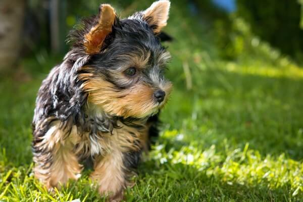 yorkshire terrier precio