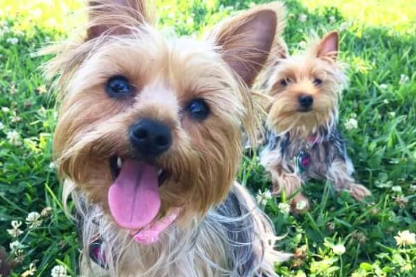 cuál es el carácter del yorkshire terrier