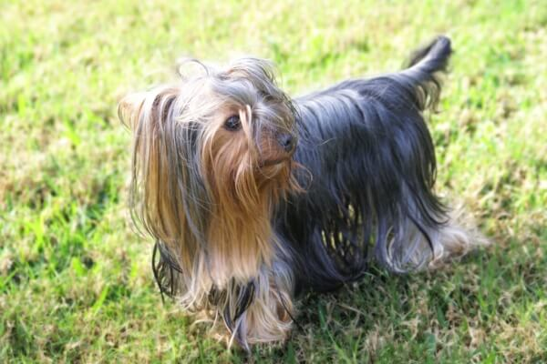 cuáles son las características del yorkshire terrier