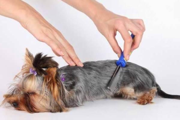 cómo cepillar a un yorkshire terrier