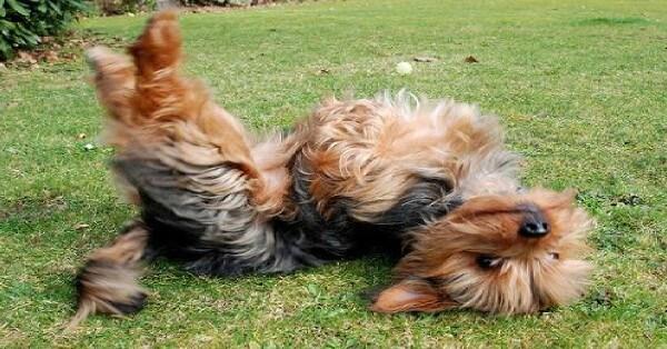 cuál es el comportamiento del yorkshire terrier