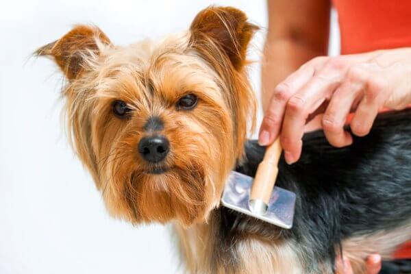 cómo cuidar yorkshire terrier