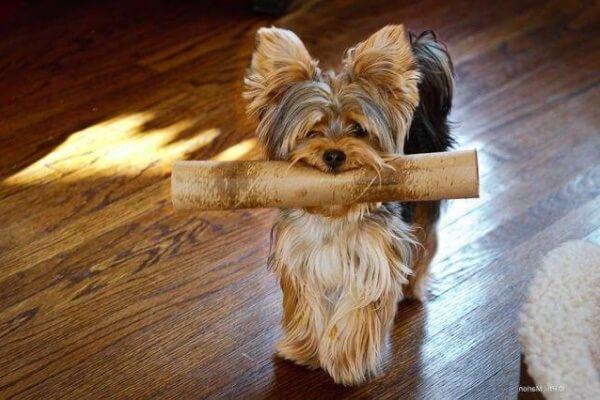 cómo educar a un yorkshire terrier