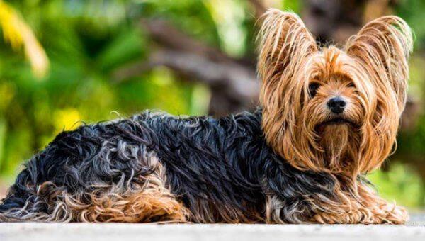 yorkshire terrier tamaños