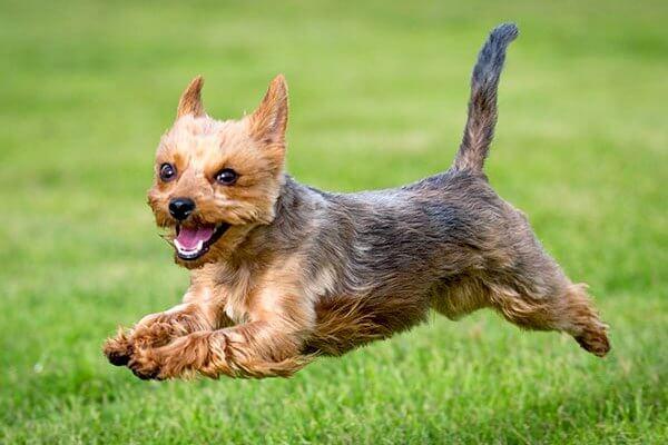 qué temeperamento tiene el yorkshire terrier