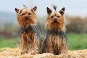 qué temperamento tiene el yorkshire terrier