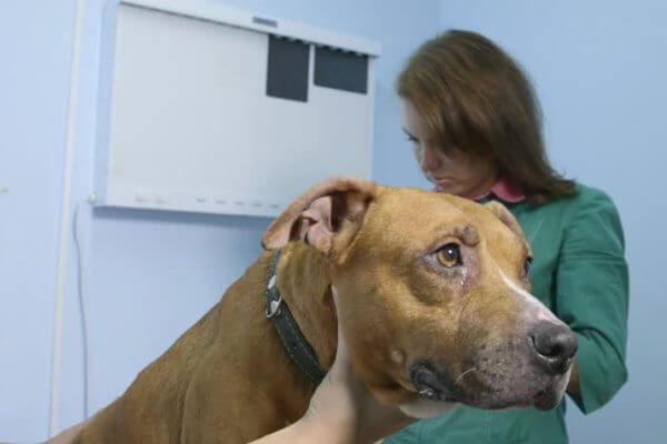 enfermedades el american Staffordshire terrier