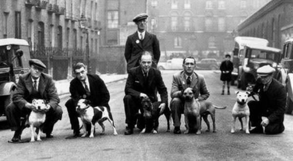 de dónde procede american Staffordshire terrier