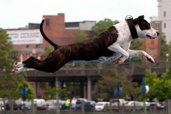 cómo adiestrar american Staffordshire terrier