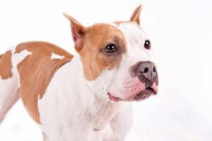 fotos american staffordshire terrier