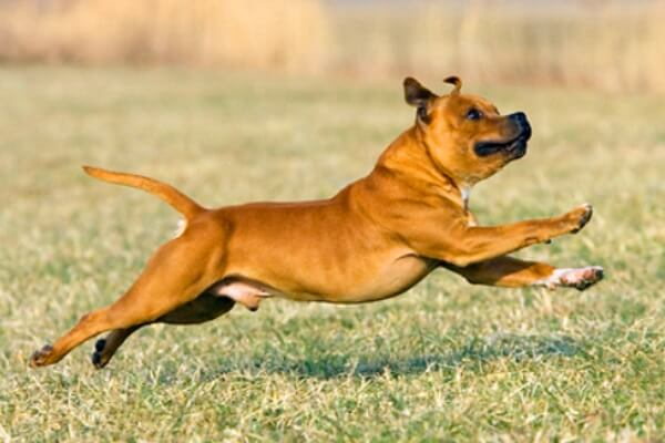 cuál es el carácter del american Staffordshire terrier