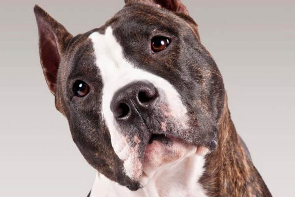 cómo cuidar american Staffordshire terrier