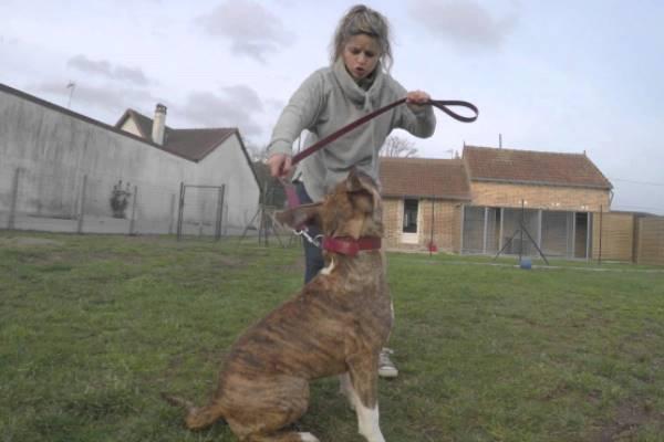 cómo educar american Staffordshire terrier