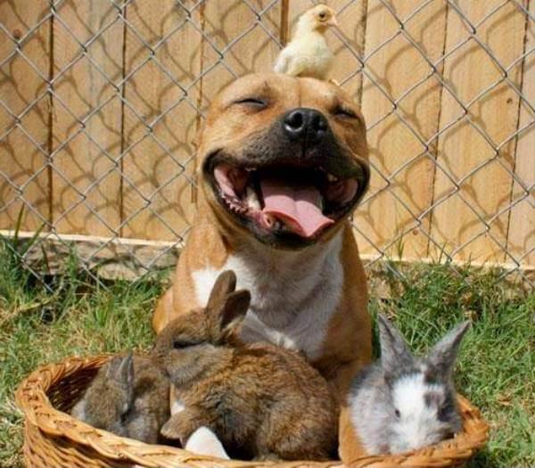 qué personalidad tiene el american Staffordshire terrier