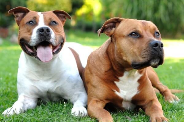 problemas salud american Staffordshire terrier
