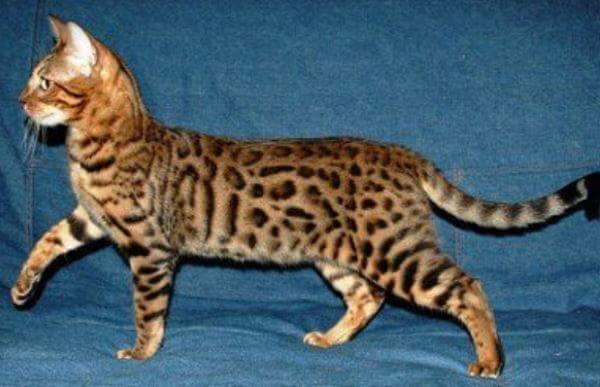 criadero gato bengali