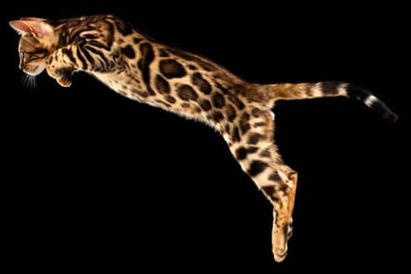 gato bengala rasgos