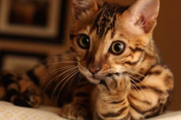 qué carácter tiene el gato de Bengala