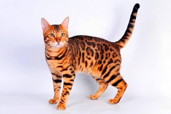características físicas gato de Bengala