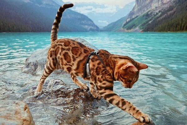 cómo cuidar gato bengala