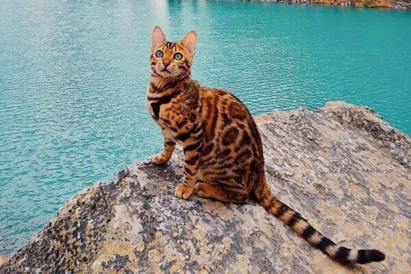 gato bengalí salud