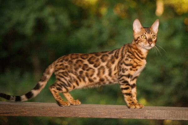 cómo debe ser el gato bengalí