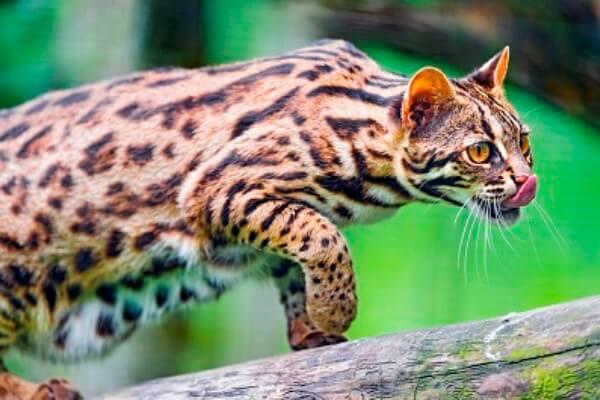 gato bengalí historia