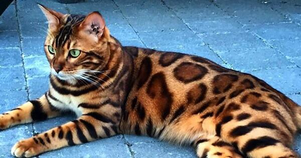 gato bengalí origen