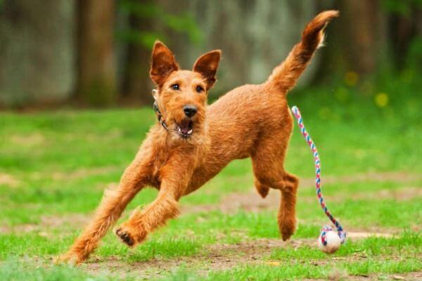 comida para perro irish terrier