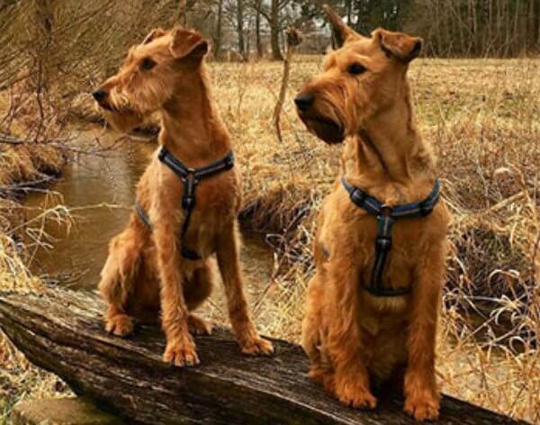 cuánto mide irish terrier