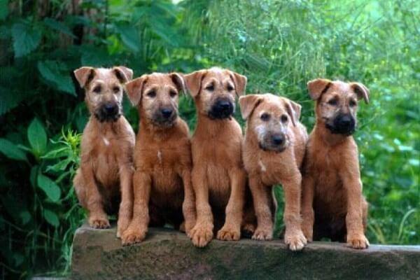 Cachorros de Irish terrier precio