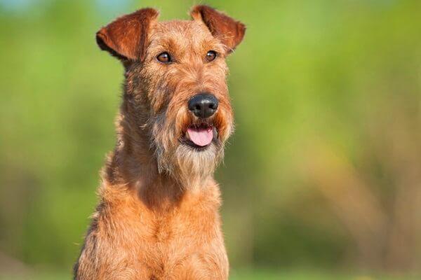 qué carcáter tiene el perro irish terrier