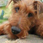 Origen raza Irish Terrier