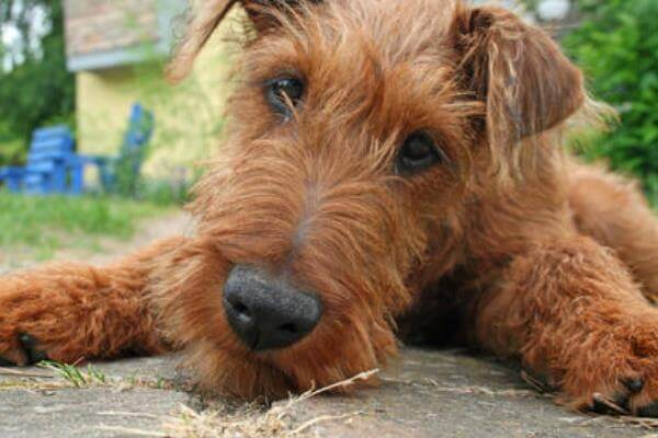 Origen raza Irish Terrier