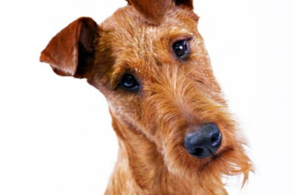 aspecto físico irish terrier