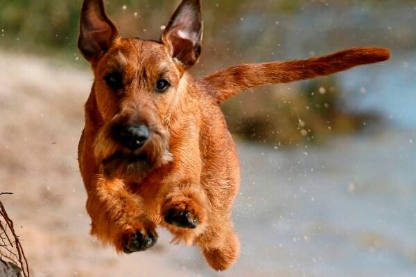 irish terrier personalidad