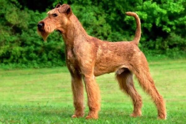 raza de perro irish terrier
