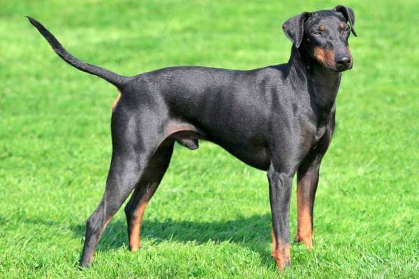 colores manchester terrier