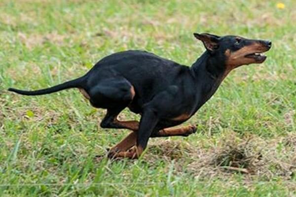 Orígenes Manchester Terrier