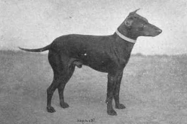 Manchester Terrier historia