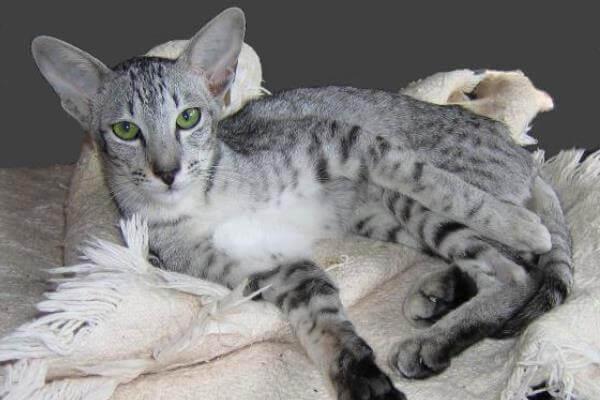 historia gato oriental