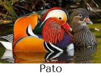 pato características