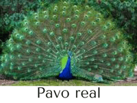 pavo real características