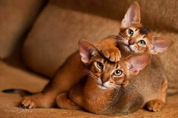 cómo es el carácter del gato abisinio