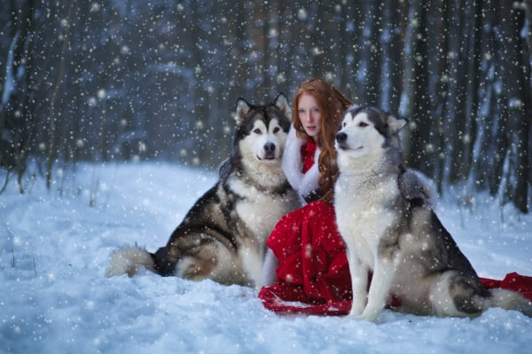 cuál es la actitud del perro alaskan malamute