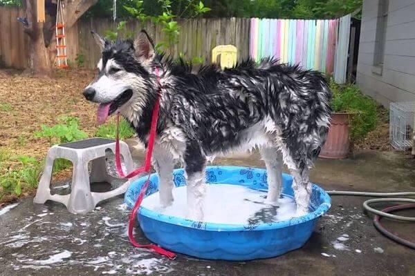 cómo bañar a un perro alaska malamute