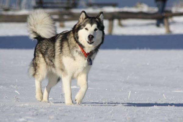 qué carácter tiene el alaskan malamute