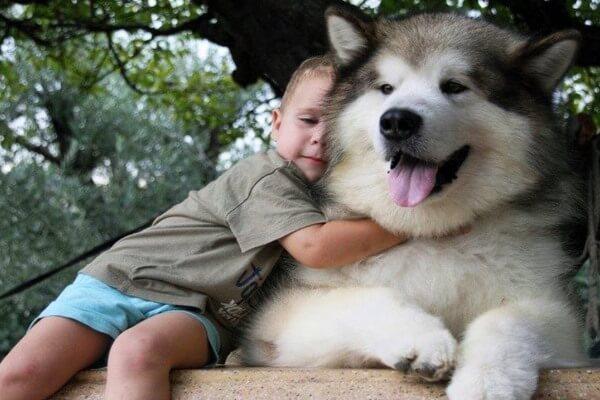 relación alaskan malamute niños
