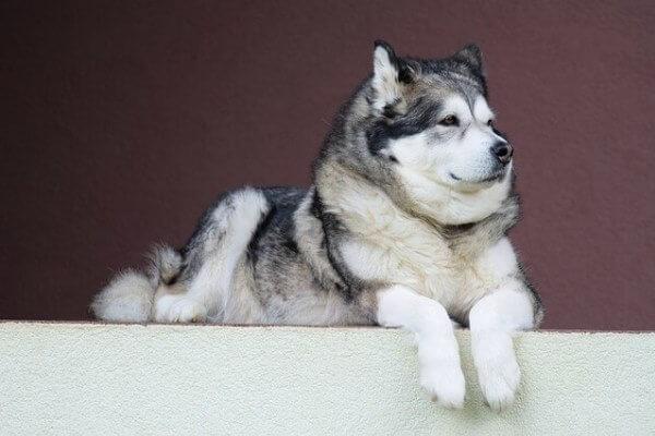 enfermedades alaska malamute