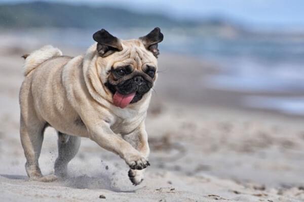 perro carlino descripción